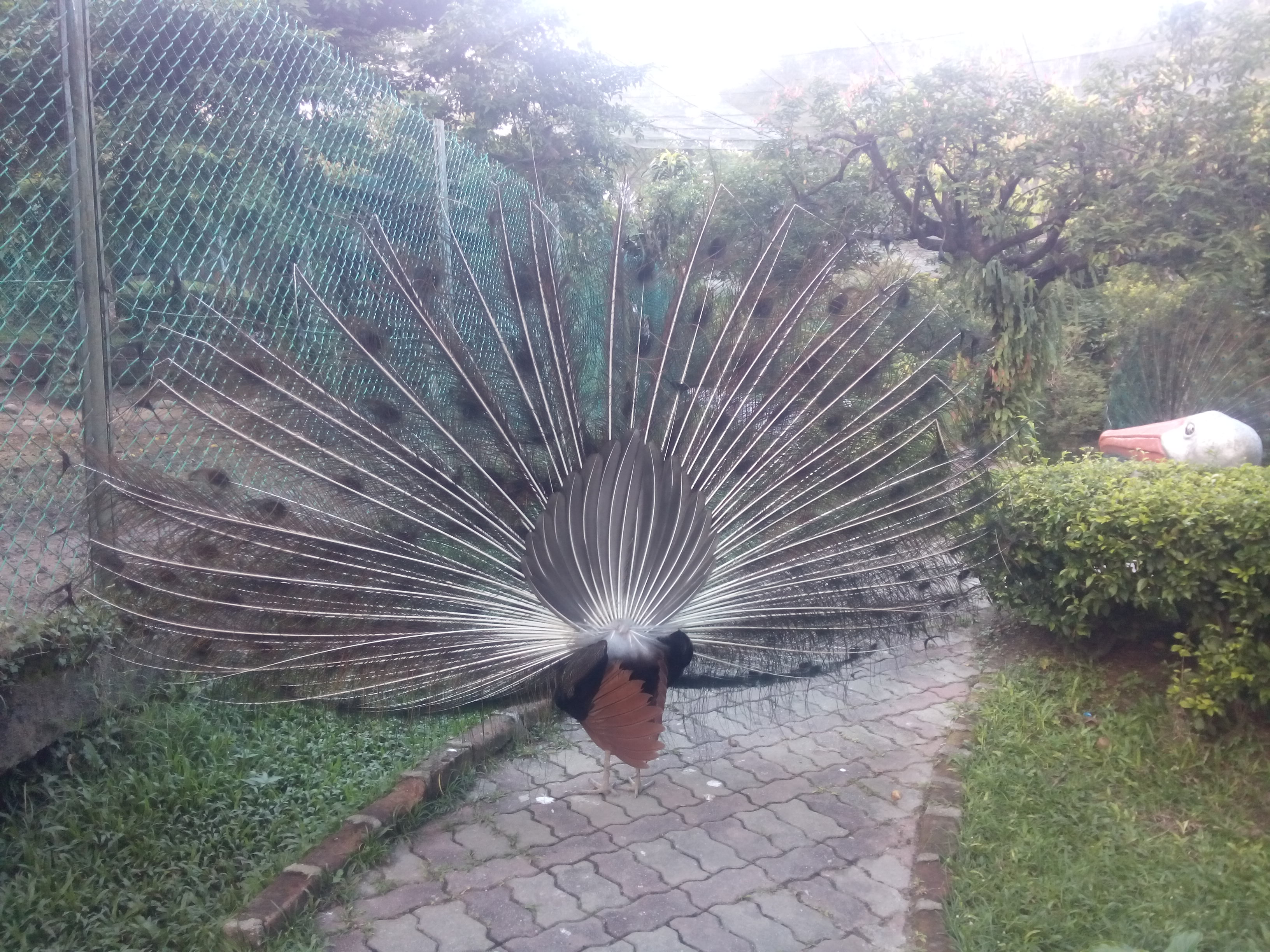 A peacock with its feathers open from behind
