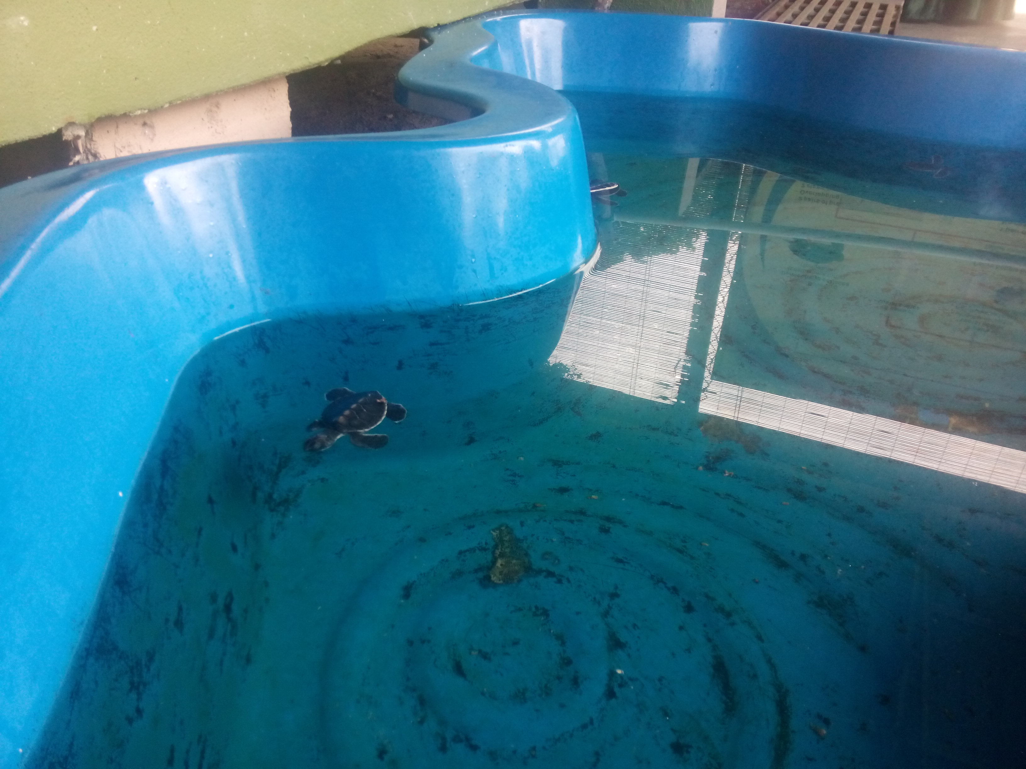 Baby turtles in a plastic blue pond