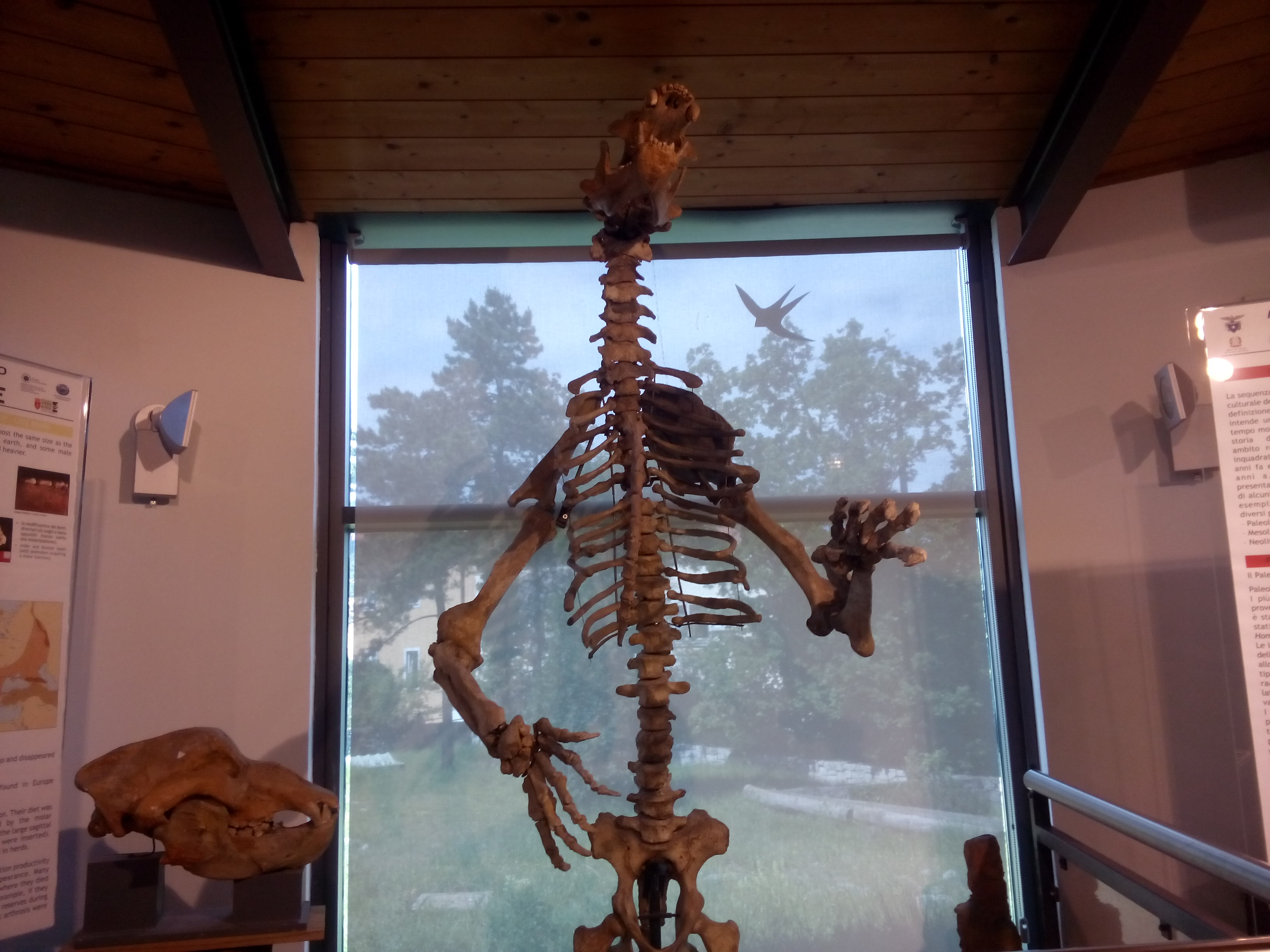 A giant bear skeleton
