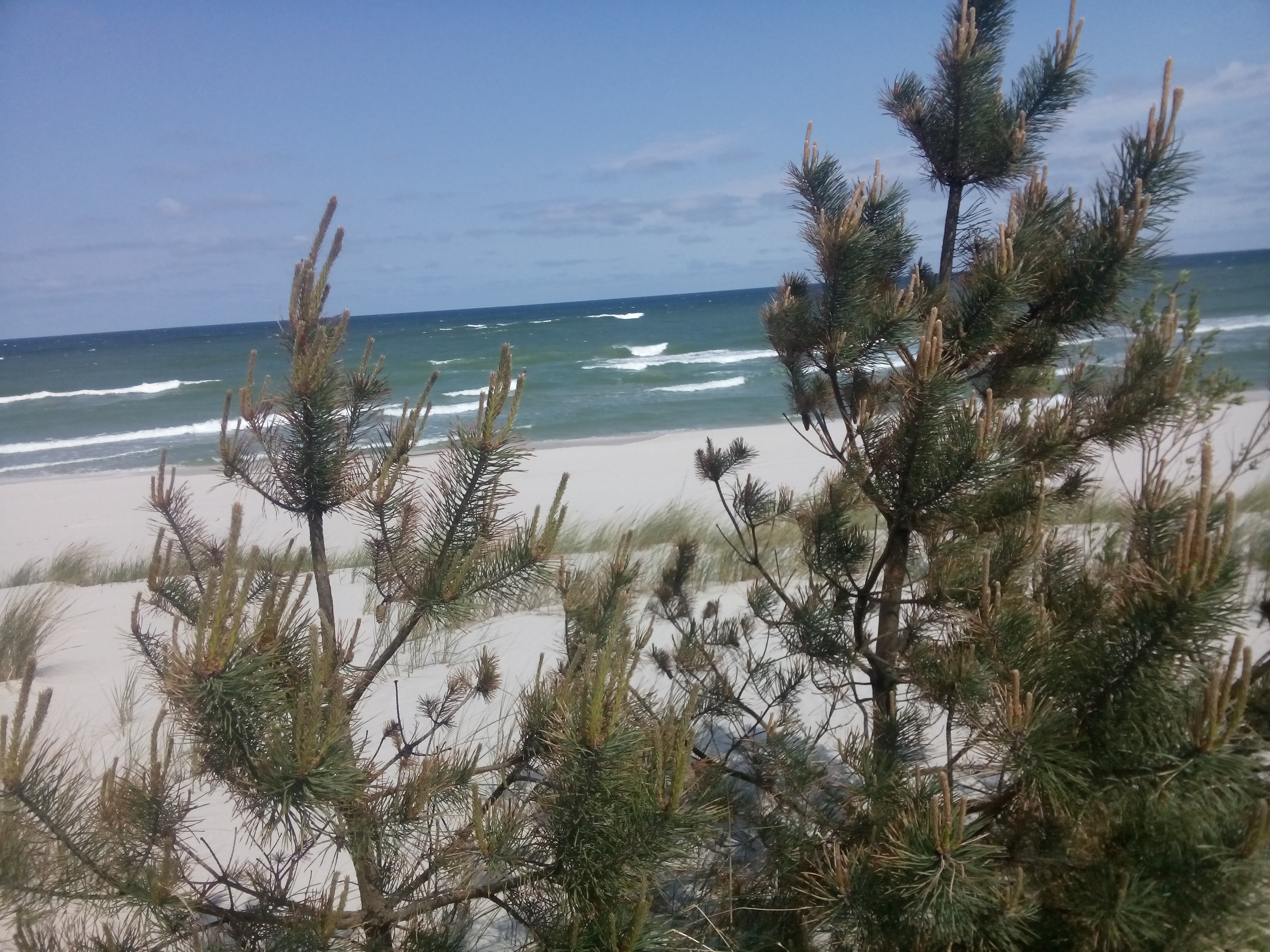 Wispy pine trees in the foreground with beach and sea behind