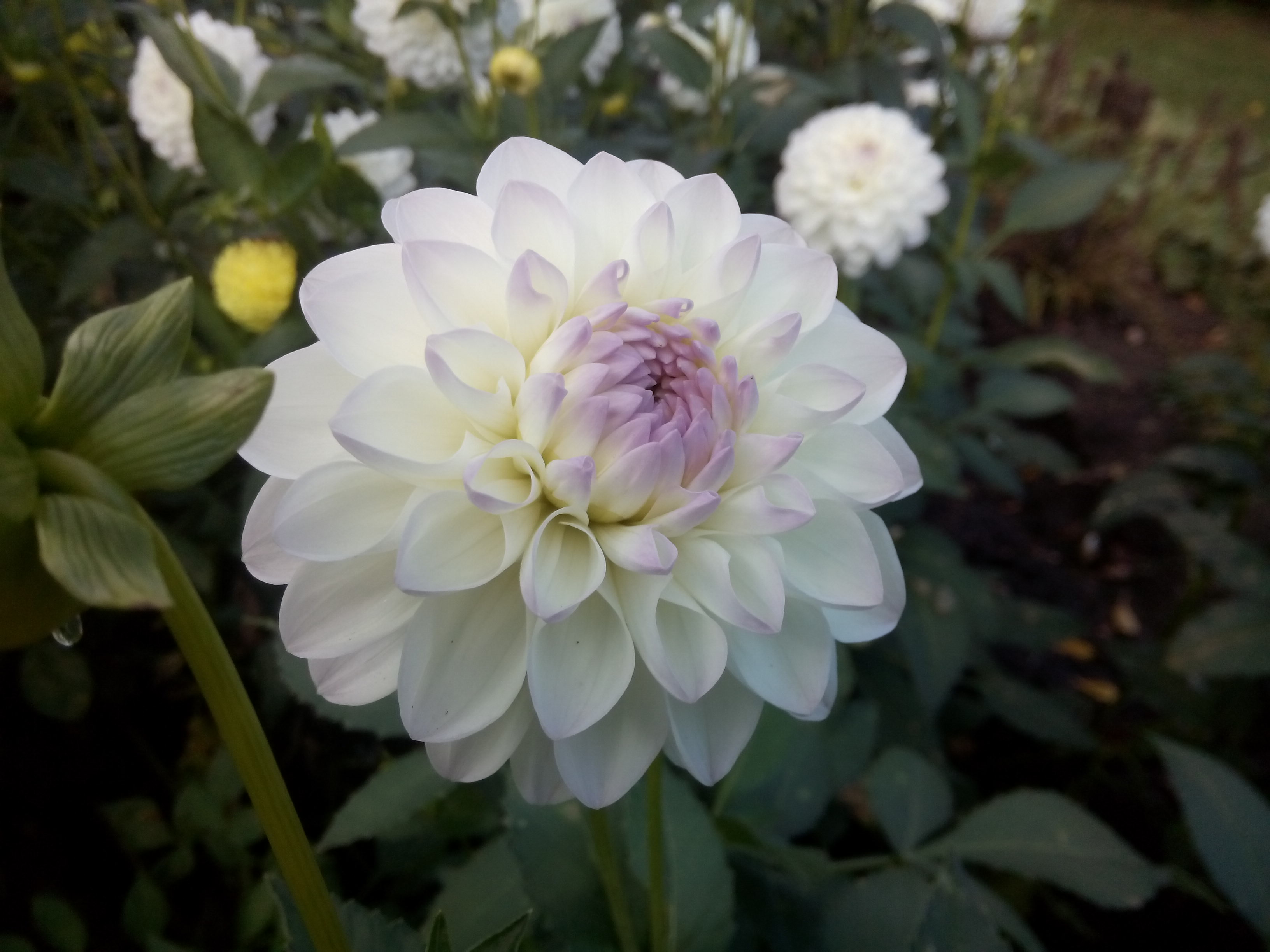 Close up of a white dahlia
