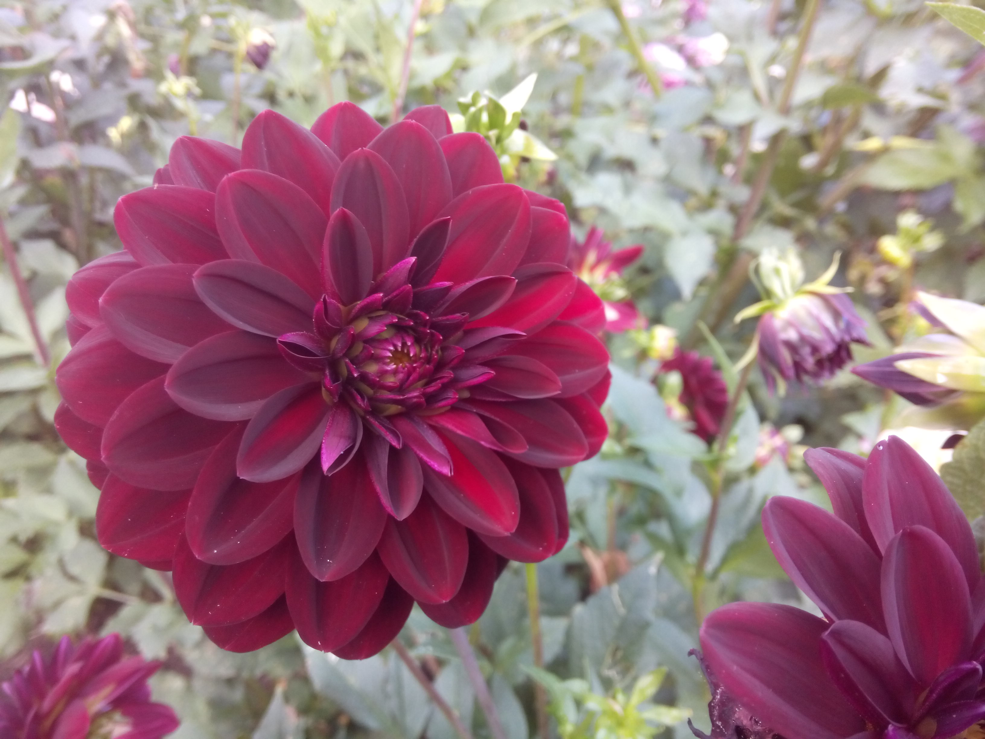 Close up of a burgundy dahlia