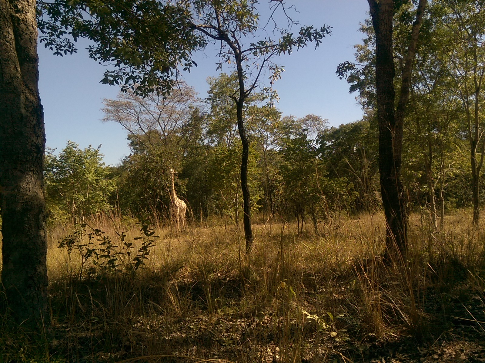 A giraffe eats from a tree in the distance