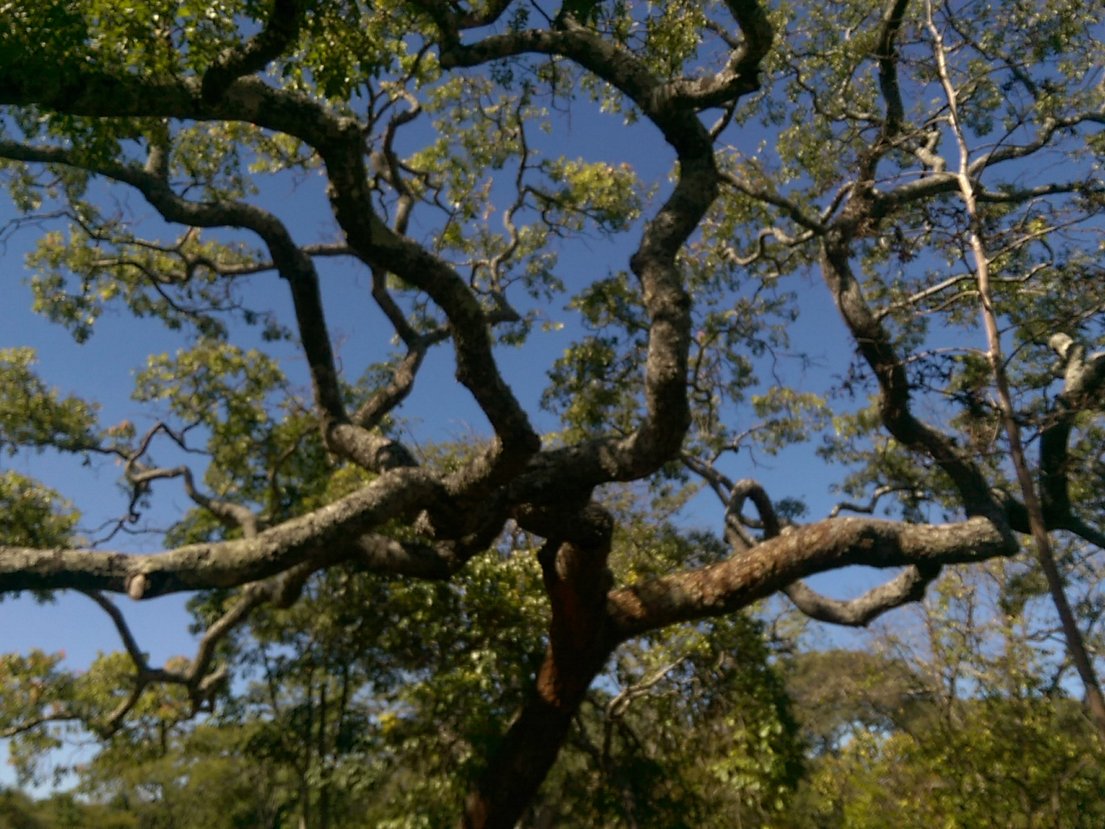 A twisty tree with green leaves against a blue sky