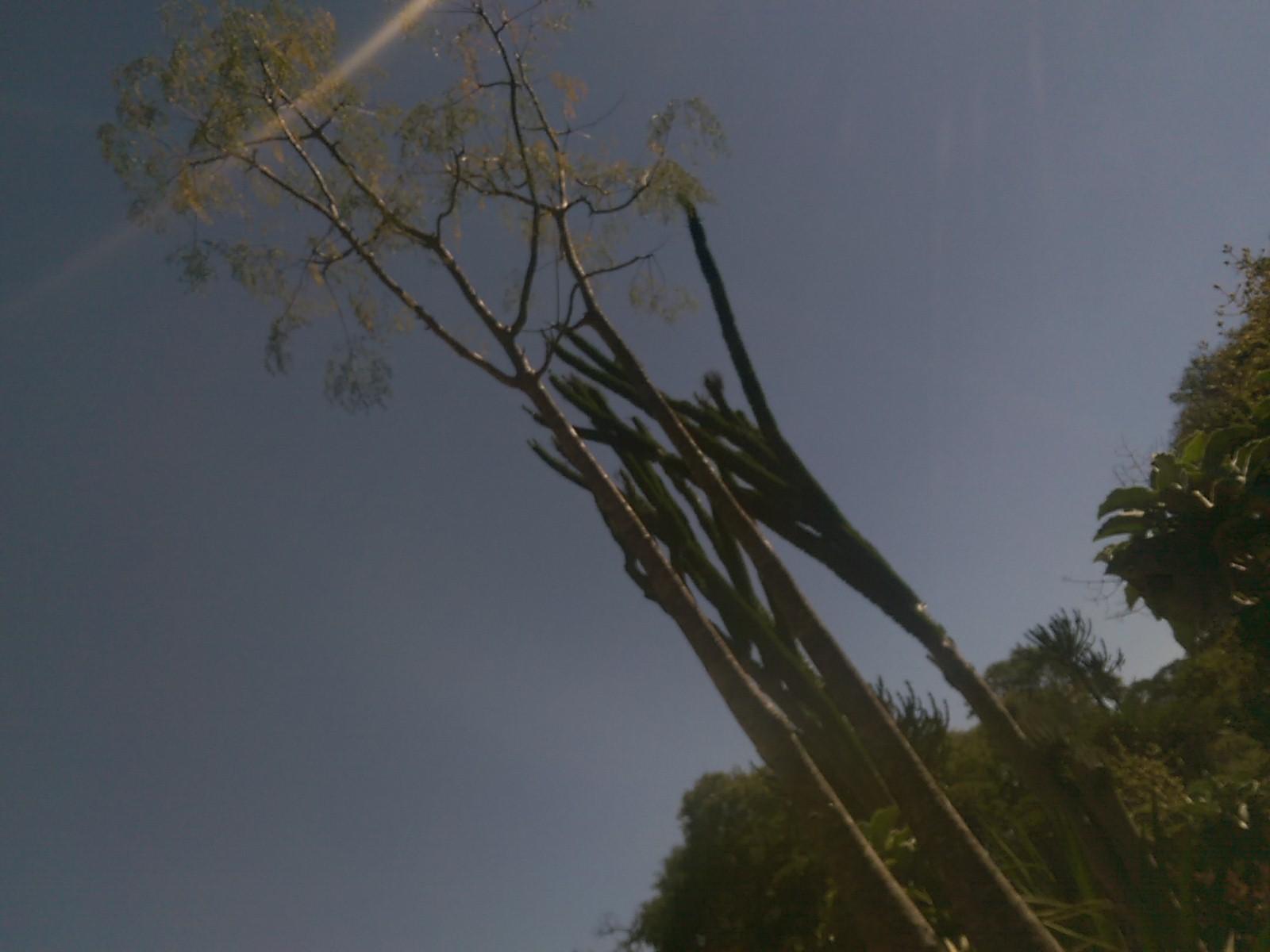 Tall narrow cactii and trees against a blue sky