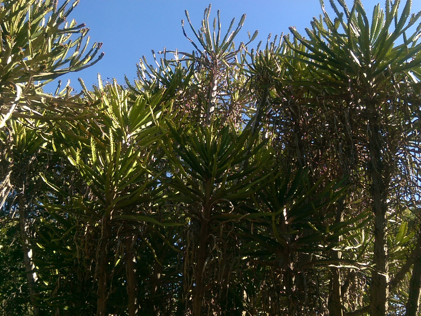 A cluster of spiky trees on a blue sky