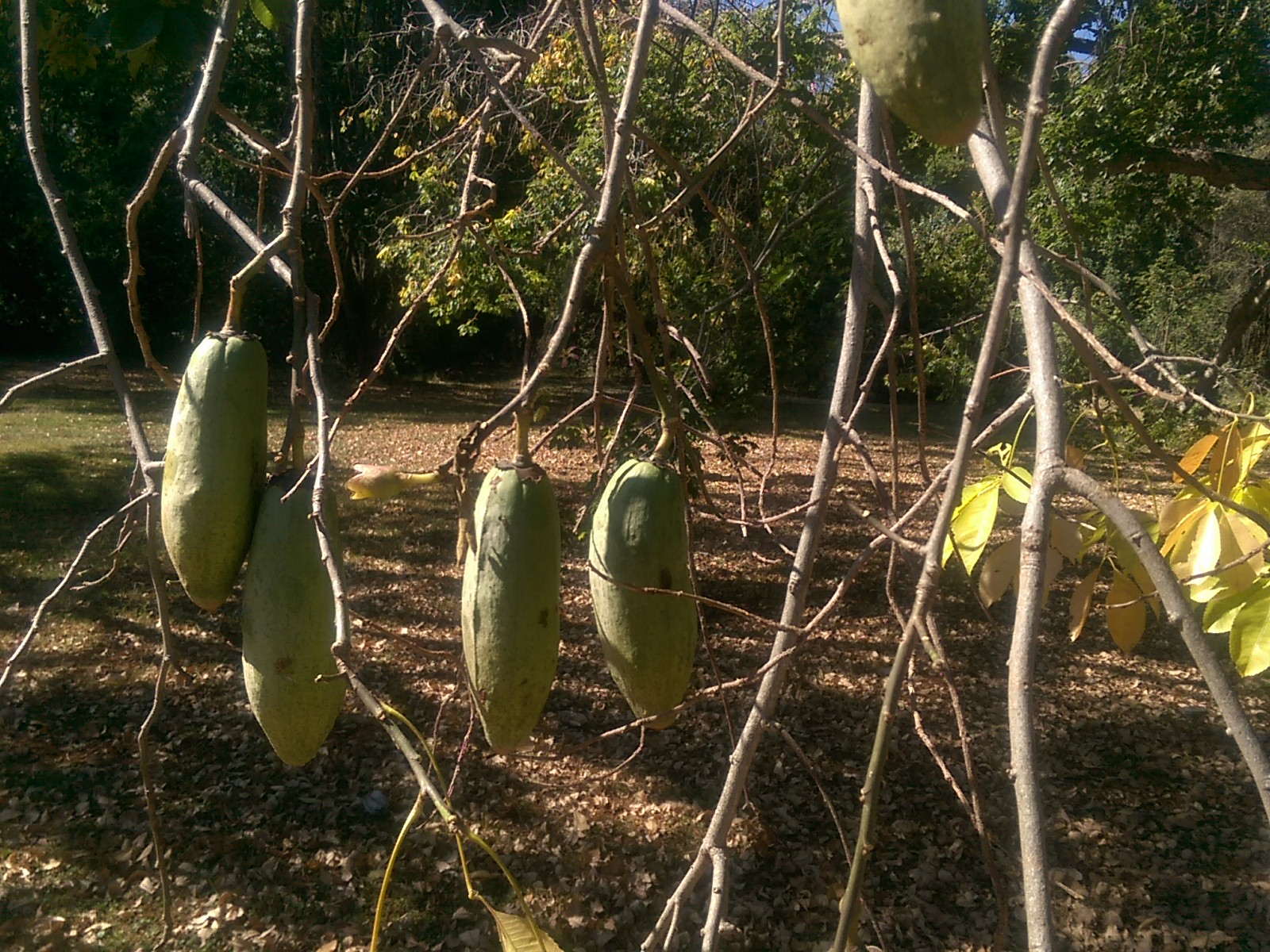 Tree branches supporting large green hanging pods