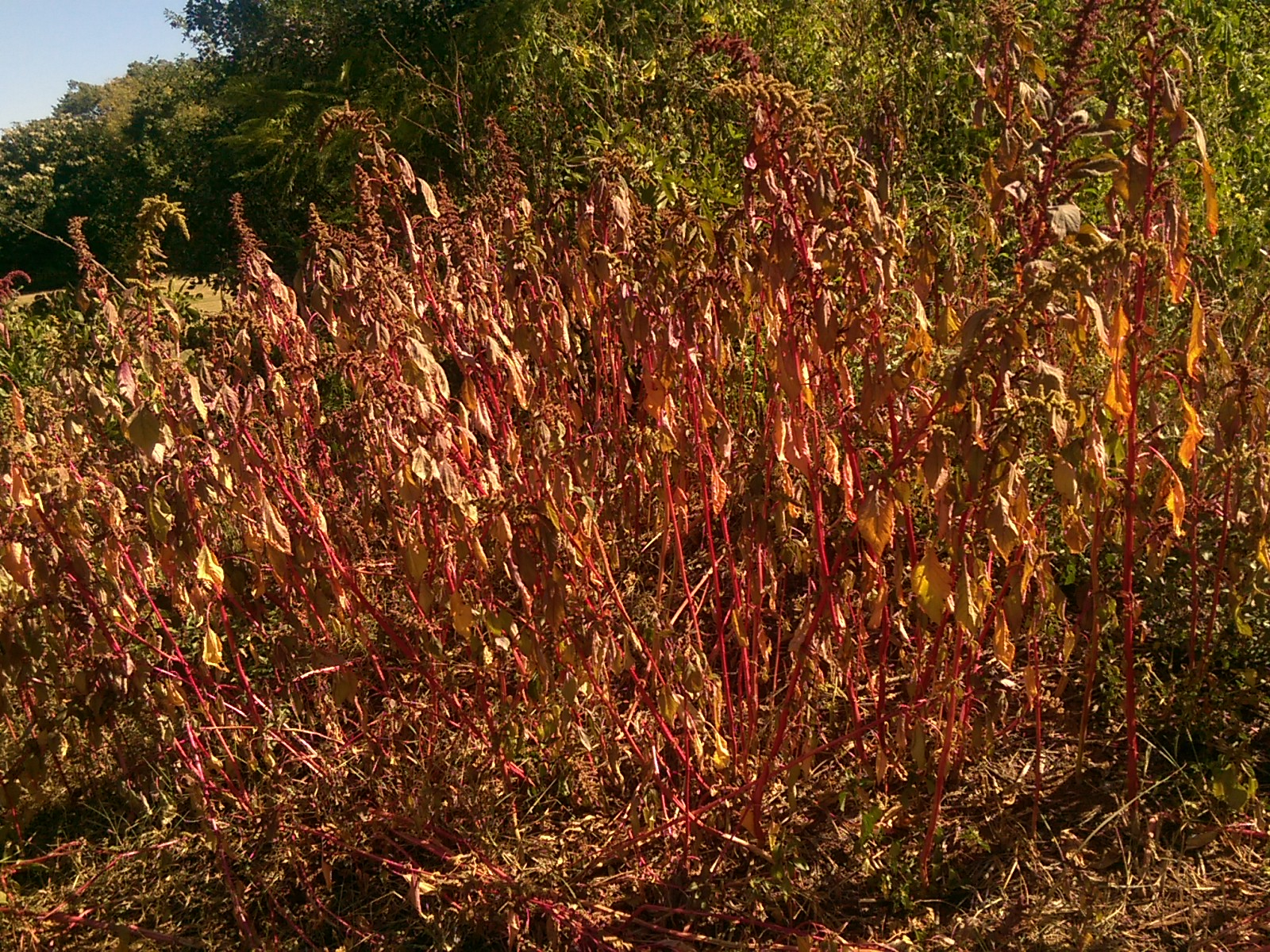 An orange and red leafy bush