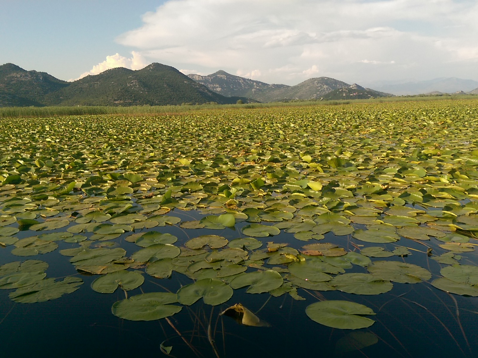 Flat glassy water is covered in green round leaves, with mountains in the distance