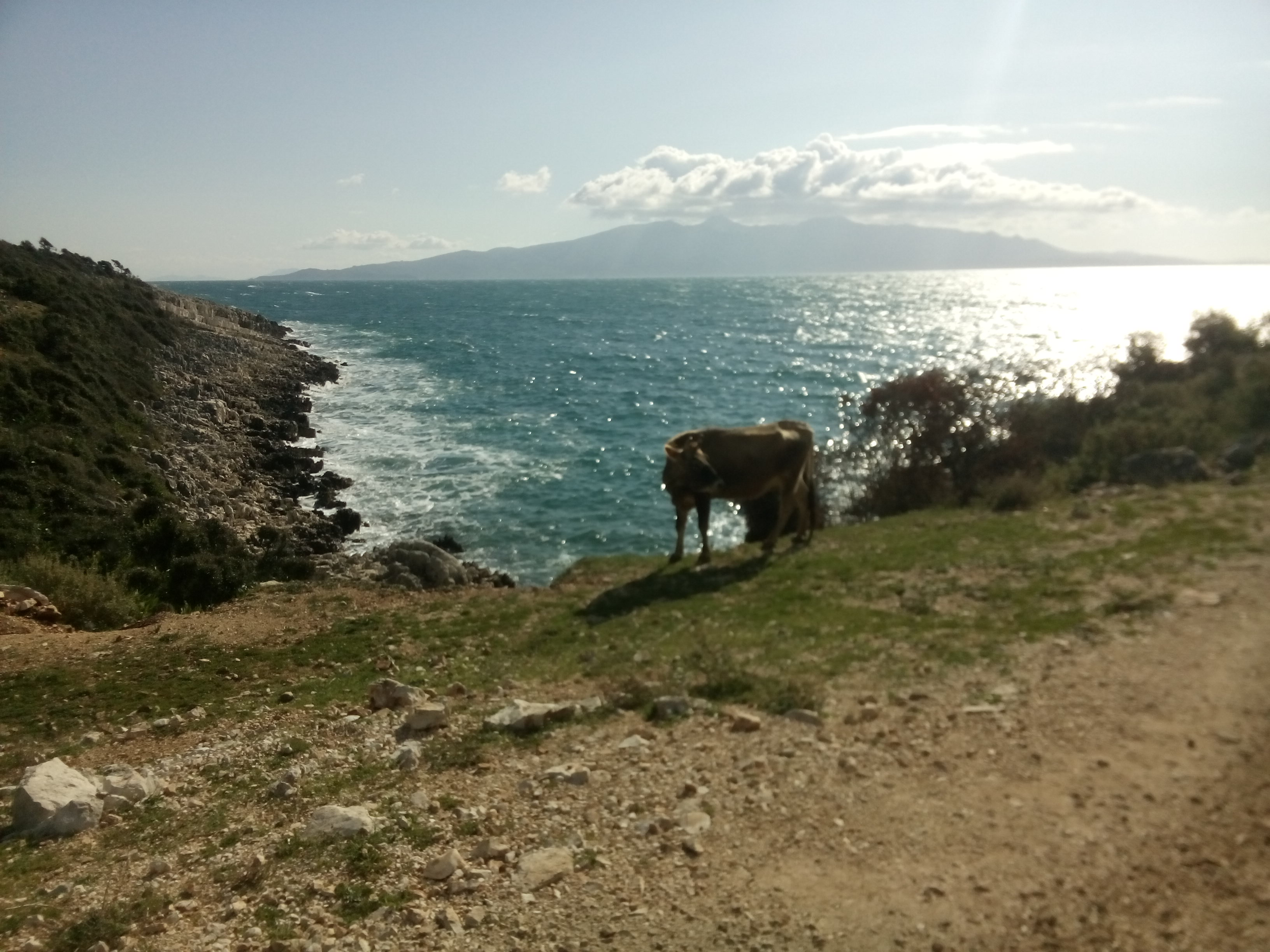 A cow grazes on a rocky trail with the sea and Corfu island in the background