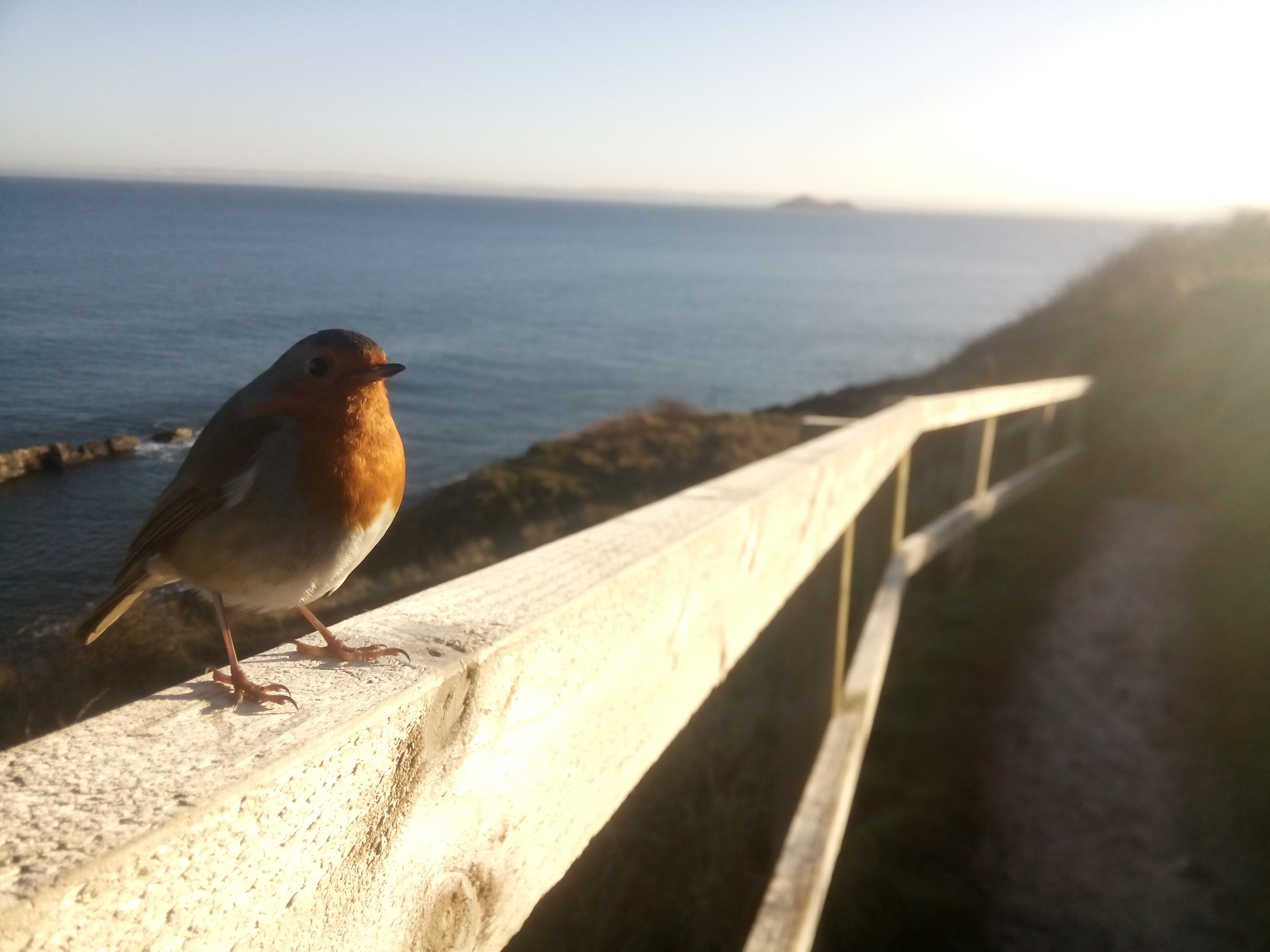 The small robin loves the view of the sea from this spot